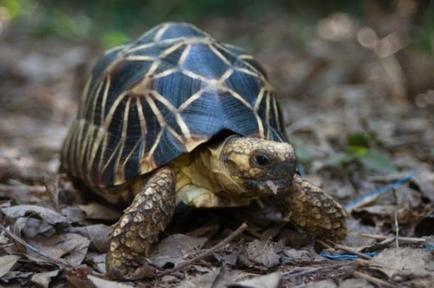 La tortuga de la estrella de Birmania ( Geochelone platynota ). Se utiliza para la carne, medicamentos tradicionales y es muy buscada para el comercio internacional de mascotas.